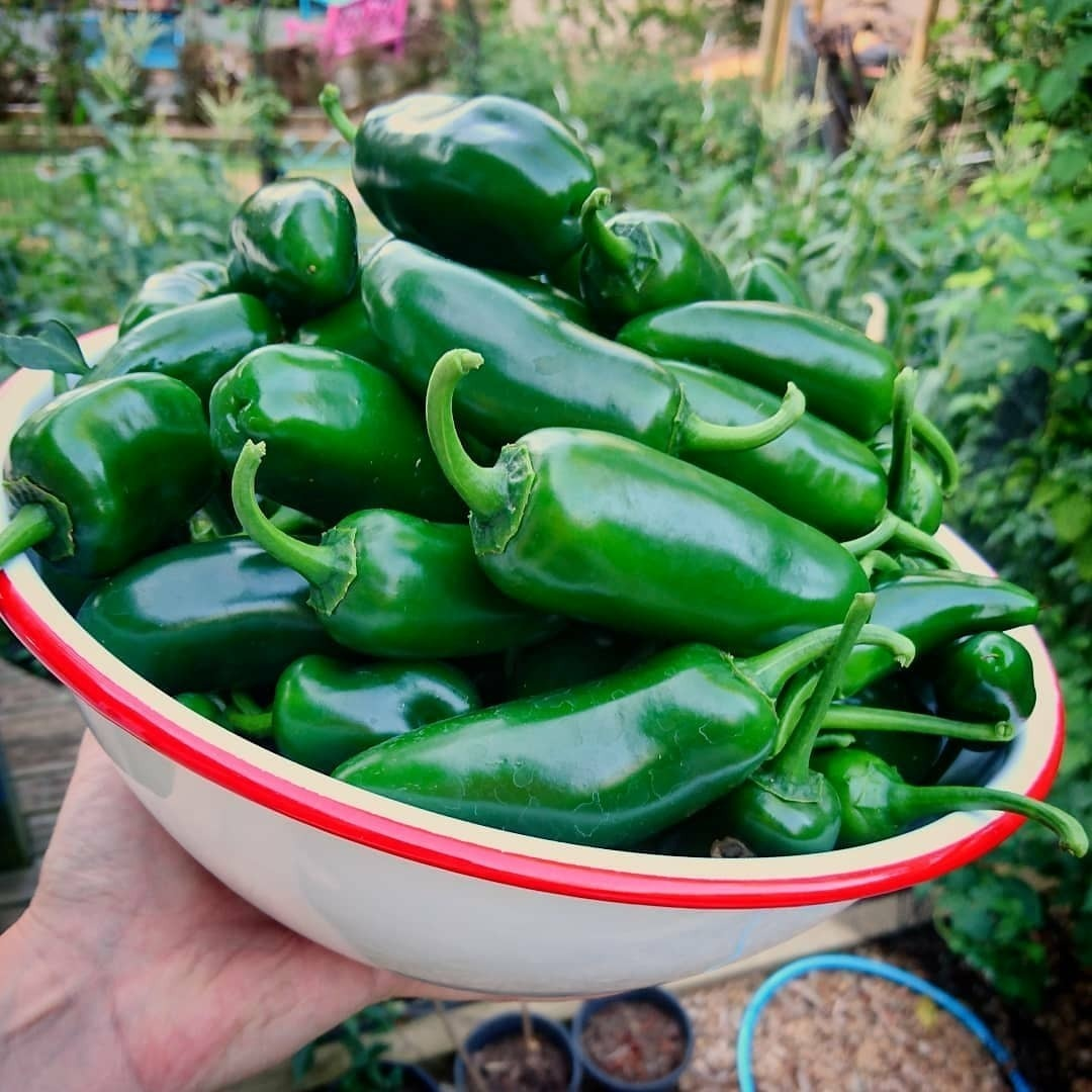 chilli jalapeno seeds theseedcollection