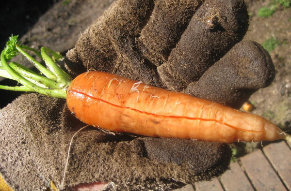 Carrot How To Grow From Seed Theseedcollection