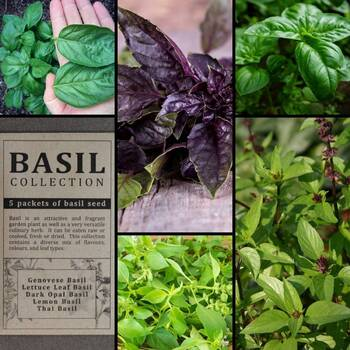 """Basil"" Seed Collection"