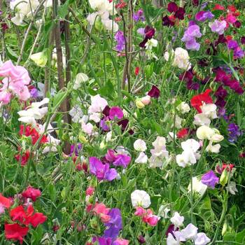 Sweetpea- Multiflora Colorama Mix