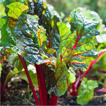 Silverbeet- Ruby Red