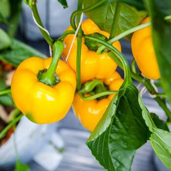 Capsicum- Golden Californian Wonder