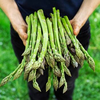 Asparagus- Connovers Colossal
