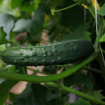 Cucumber- Marketmore