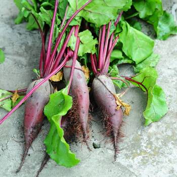 Beetroot- Cylindra