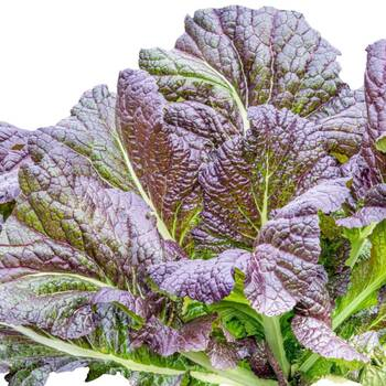 Mustard Greens- Red Giant