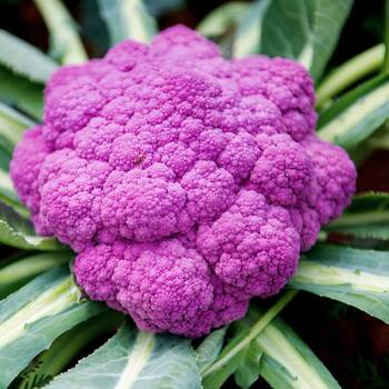Cauliflower- Purple Sicily