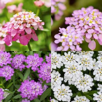 Candytuft- Dwarf Fairy Mixed