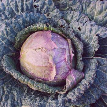 Cabbage, Savoy- Verona Purple
