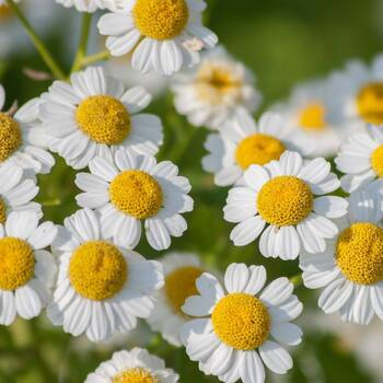 Feverfew- Tall Single White