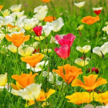 Californian Poppy- Single Choice Mix