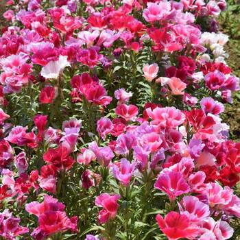 Godetia- Azalea Double Flowered Mix
