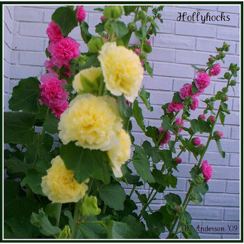 Hollyhock- Chaters Double Mix