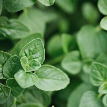Oregano- Greek