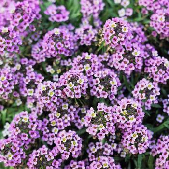 Alyssum- Royal Carpet