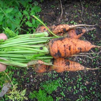 Carrot- Chantenay Red Cored