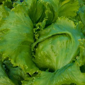 Lettuce- Great Lakes