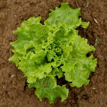Lettuce- Salad Bowl Green
