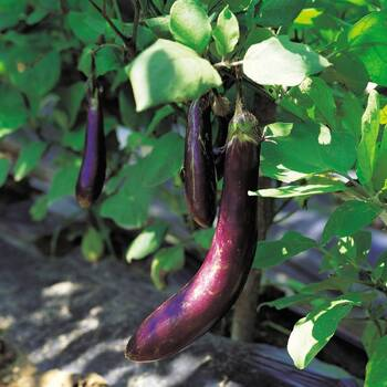 Eggplant- Early Long Purple
