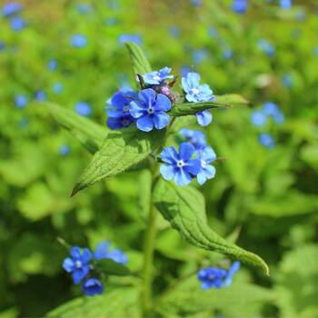 Forget Me Not, Chinese- Firmament Indigo Blue