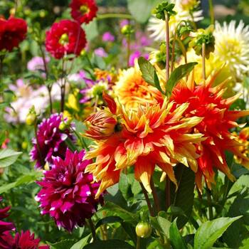 Dahlia- Decorative Giants Mix