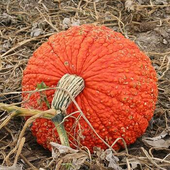 Pumpkin- Red Warty Thing