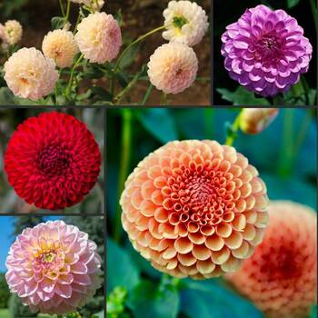 Dahlia- Pompon Double Flowered Mix
