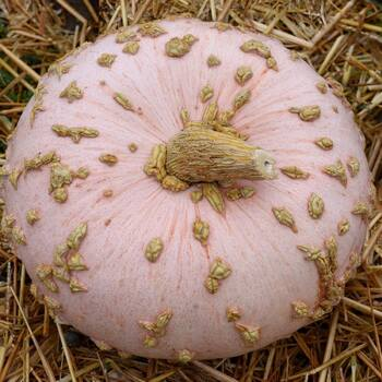 Pumpkin- Galeux D'eysines