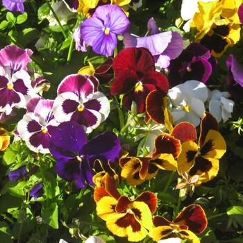 Pansy- Swiss Giants Velvet Mix