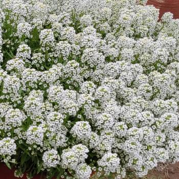 Alyssum- Tiny Tim