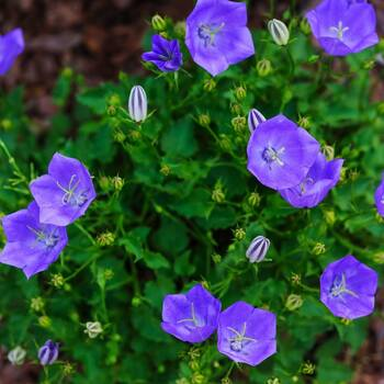 Tussock Bellflower- Blue