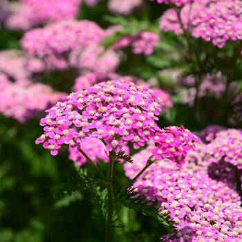 Yarrow- Cerise Queen