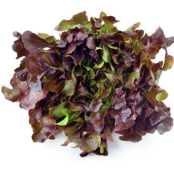 Lettuce- Oakleaf Red