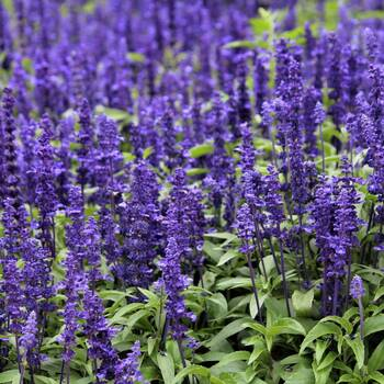 Salvia- Blue Bedder
