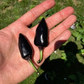 Chilli- Hungarian Black