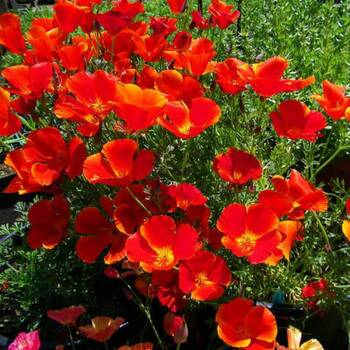 Californian Poppy- Red Chief