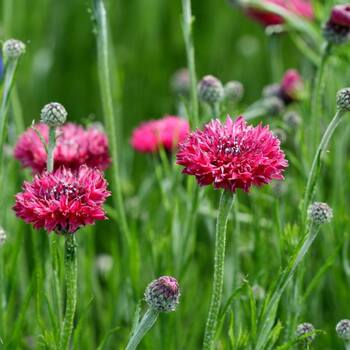 Cornflower- Red Ball