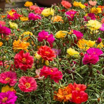 Portulaca- Double Flowered Mix