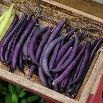 Bush Bean- Royal Burgundy