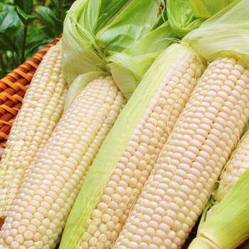 Corn, Maize- Manning White
