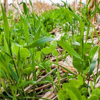 GREEN MANURE- Autumn and Winter Mix