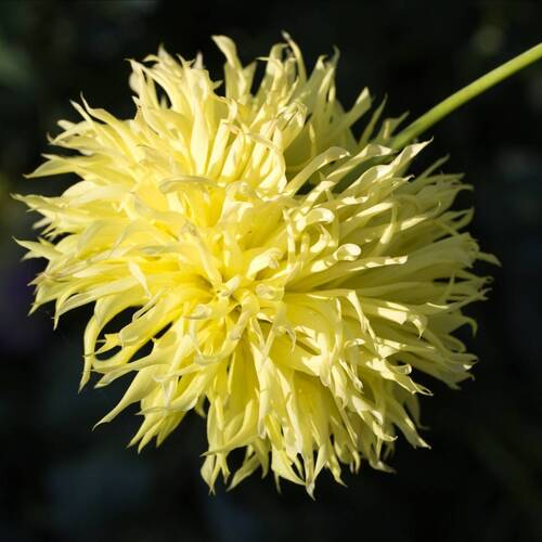 Aster- Ostrich Yellow Feather