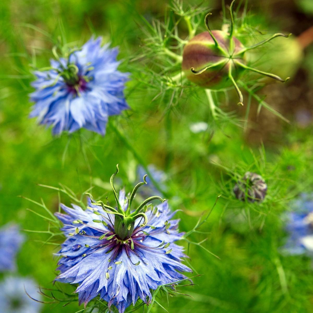 Nigella Miss Jekyll Blue Seeds The Seed Collection