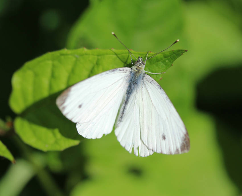 Pieris rapae butterfly