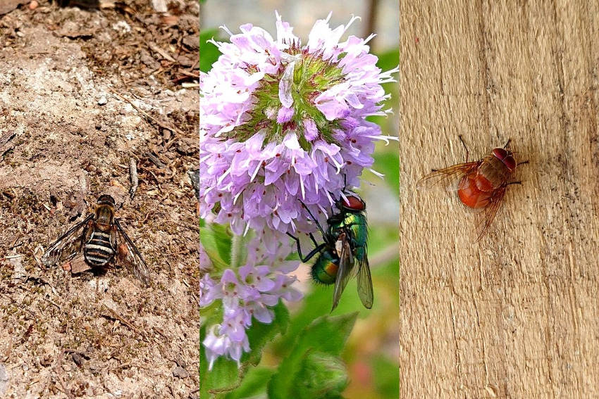 Flies. Bee fly, green bottle fly, reddish brown blowfly.