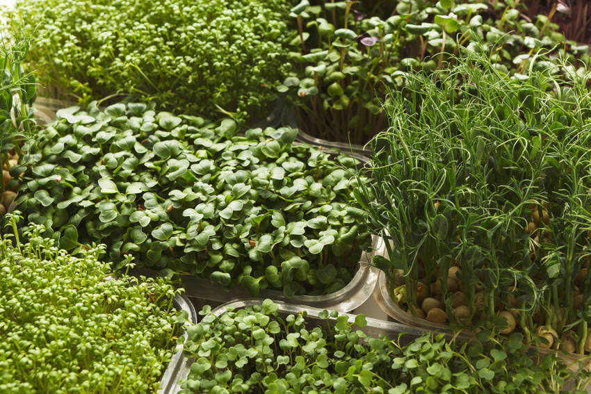 Microgreens - 400 seeds young leaves with exceptional Coriander