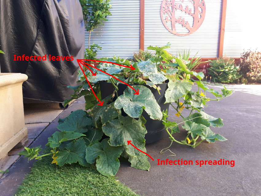 powdery mildew on cucumber plant