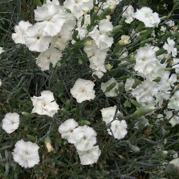 Carnation- Grenadin White
