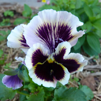 Viola- Rococco Frilled Mix