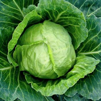 Cabbage- Early Jersey Wakefield